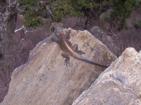 huge lizard or gila monster or something... scared the hell out of me!