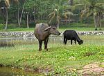 Water buffalo, Varkala, Kerala. Taken with a Canon PowerShot A630. August 2008