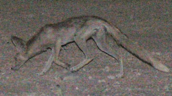 desert fox in southern Iraq